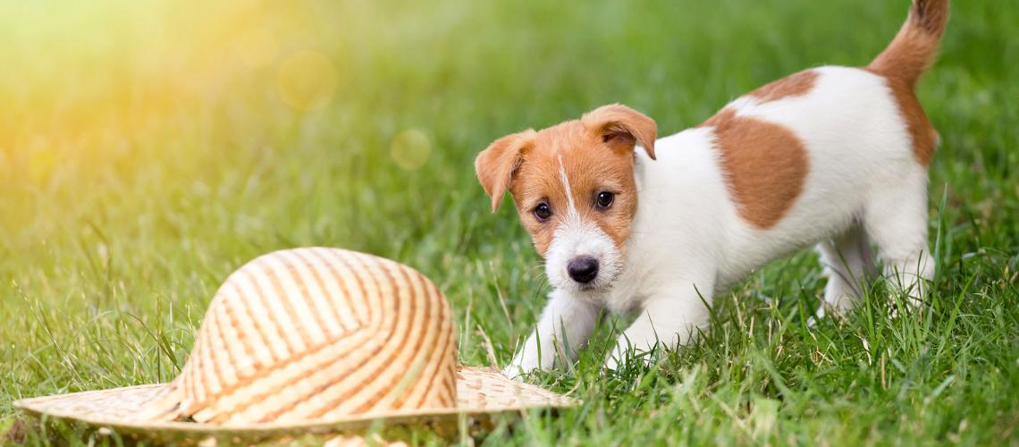 Jack Russel pup in het gras spelen met een zonnehoed
